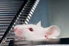 Lab mouse. The mouse is widely used in labs world wide Stock Image