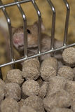 Lab mouse in a cage Royalty Free Stock Image