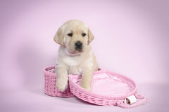 Lab in pink Stock Photography