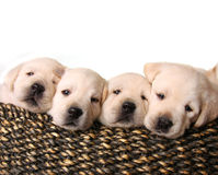 Lab puppies Royalty Free Stock Images