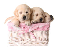 Lab puppies royalty free stock image