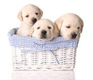 Lab puppies royalty free stock photo