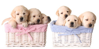 Lab puppies stock image