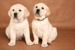 Lab puppies stock photography