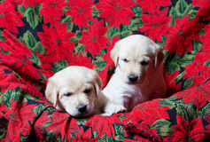 Lab Puppies Royalty Free Stock Photography