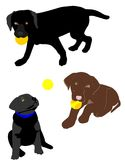 Lab puppies playing with balls. Black,and chocolate lab puppies playing with balls, like they love to do Royalty Free Stock Photography