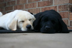 Lab puppies sleeping Stock Photo