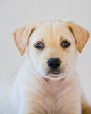Lab puppy. Cute white or golden lab puppy Royalty Free Stock Photo