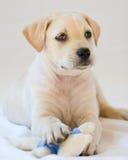 Lab puppy. Cute white or golden lab puppy Stock Photos