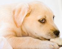 Lab puppy. Cute white or golden lab puppy Royalty Free Stock Image