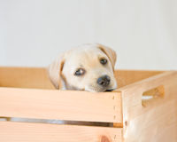 Lab puppy. Cute white or golden lab puppy Stock Photography