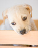 Lab puppy. Cute white or golden lab puppy Stock Image