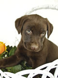 Lab Puppy Stock Images