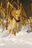 Lab Puppy 2 Royalty Free Stock Image