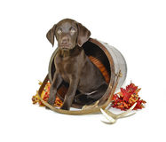 Lab Puppy Stock Photography
