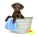 Lab Puppy Getting a Bath. Lab puppy sitting in a bath tub with a rubber ducky, on a white background Stock Image