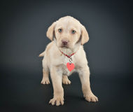 Lab Puppy Royalty Free Stock Images