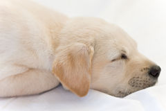Lab puppy sleeping. Cute white or golden lab puppy Royalty Free Stock Photography