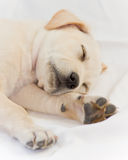 Lab puppy sleeping. Cute white or golden lab puppy Royalty Free Stock Photos