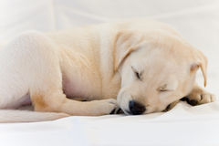 Lab puppy sleeping. Cute white or golden lab puppy Royalty Free Stock Image