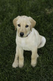 Lab Puppy Stock Image