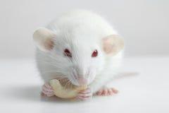 Lab rat Stock Image