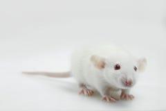 Lab rat Stock Images