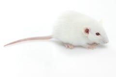 Lab rat Royalty Free Stock Image
