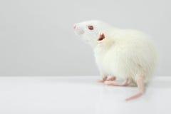 Lab rat Royalty Free Stock Photography