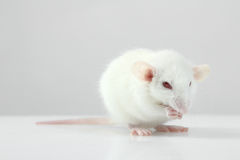 Lab rat Royalty Free Stock Images