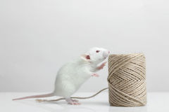 Lab rat Royalty Free Stock Photos