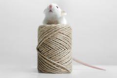 Lab rat Royalty Free Stock Photo