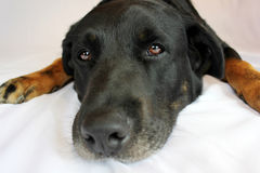 Lab / rottweiler Royalty Free Stock Photography
