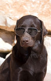 Lab in Shades Stock Photos