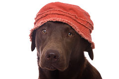 Lab in Summer Hat Royalty Free Stock Photos