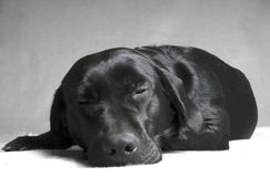 Labador nero di sonno fotografie stock
