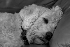 Labardoodle睡觉 免版税库存图片