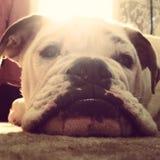 Labbra del bulldog Immagini Stock