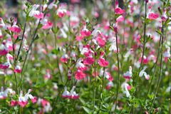 Labbra di Sage Pink fotografie stock