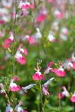 Labbra di Sage Pink fotografie stock libere da diritti