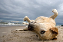 Labby en la playa Imágenes de archivo libres de regalías