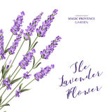 Label with lavender flowers. Royalty Free Stock Photography