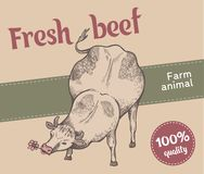 Cow is eating grass. Label of retro style. Cute cow is eating flower, vector illustration. Front view. Sketch style royalty free illustration