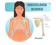 Labeled human shoulder bone anatomical vector illustration diagram poster. Medical health care information Stock Photography
