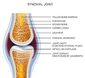 Labeled joint anatomy Stock Photography
