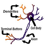 Labeled Parts of A Neuron Royalty Free Stock Images