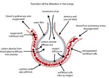 Labelled diagram of the alveolus in the lungs Royalty Free Stock Image