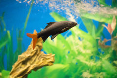 Labeo bicolor. Widespread aquarium fish Royalty Free Stock Photos