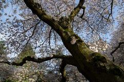 Laberinto de cerezos en flor Fotografía de archivo