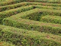 Laberinto del laberinto de arbustos verdes cortados ordenanza Imagen de archivo
